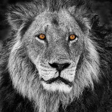Porträt eines Löwen im Schwarz-Weiß mit orange Augen von Chris Stenger