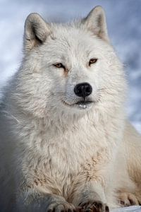 Loup Arctique ll van