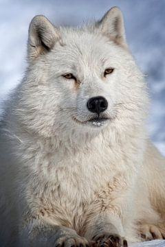 Loup Arctique ll van Renald Bourque