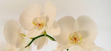 Orchidee von Rob van Soest