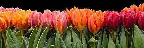 gekleurde tulpen van