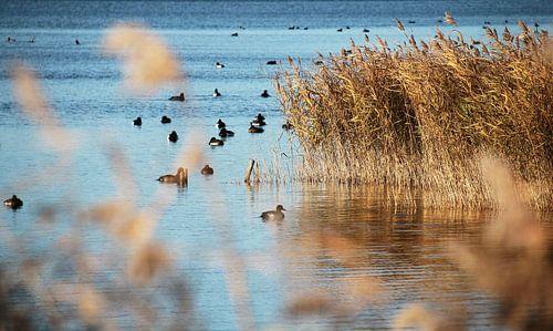 Polderlandschap, Watervogels