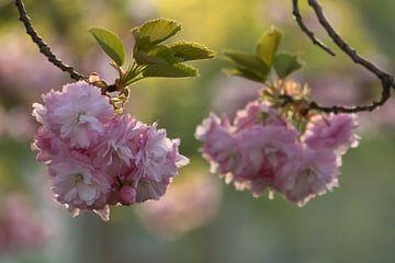 Roze kersenbloesem lente bloemen boom van Eline Chiara