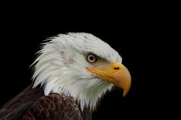 Bald Eagle, een portret. van Gert Hilbink