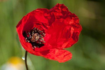 Red Poppy van Dora van der Sande