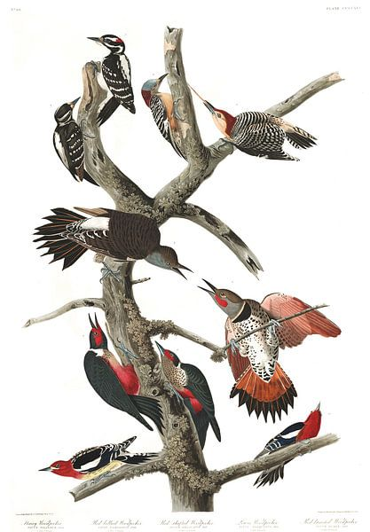 Haarspecht van Birds of America