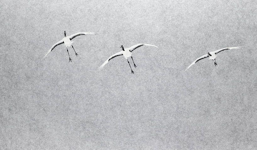 Chinese Kraanvogels vliegend in sneeuwbui van AGAMI Photo Agency