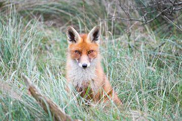 Rode vos in het gras van Inge van den Brande