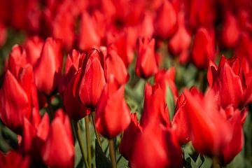 rode tulpen in bollenveld. van Erik van 't Hof