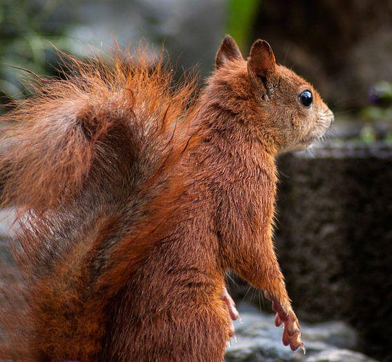 Eichhörnchen II von Vera Kämpfe