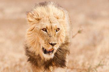 Close up van vermoeide leeuw von Simone Janssen
