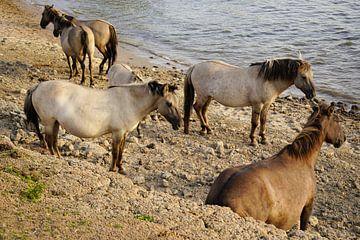 Konikpaarden aan de Rijn in de Ooijpolder van Alice Berkien-van Mil