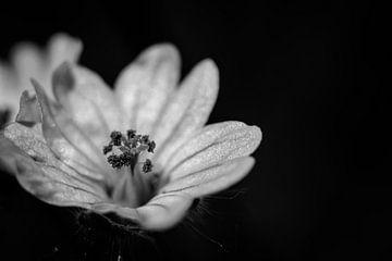kleine Wildblume mit Stößel schwarz-weiß von Frank Ketelaar