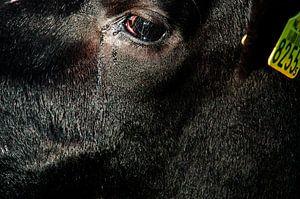 Verdrietige Koe