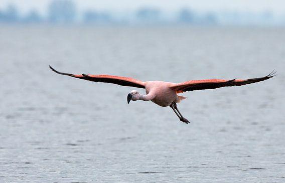 Komt een flamingo aan vliegen