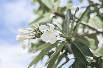 Australische Witte Bloem van DsDuppenPhotography