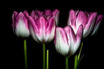 Tulpen van Sabrina Springefeld