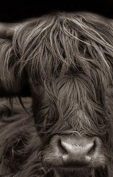Schotse hooglander van Nienke Bot