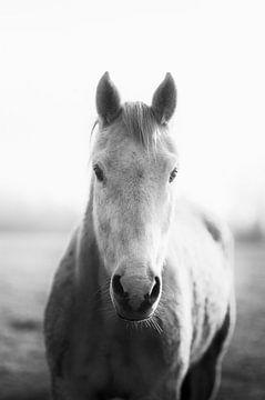 Alte weiße Pferd (Pferdestute), die in die Kamera schaut, in schwarz und weiß von John Quendag