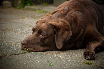 Labrador  van Johan Mulder