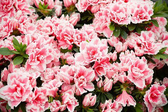 roze van marijke servaes