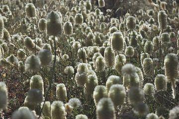 Witte Veldbloemen Australië van Britt Lamers