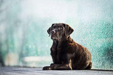 Labrador Retriever Hund mit blauem Hintergrund von Lotte van Alderen
