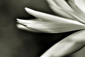 Blütenblätter von Shutterbalance