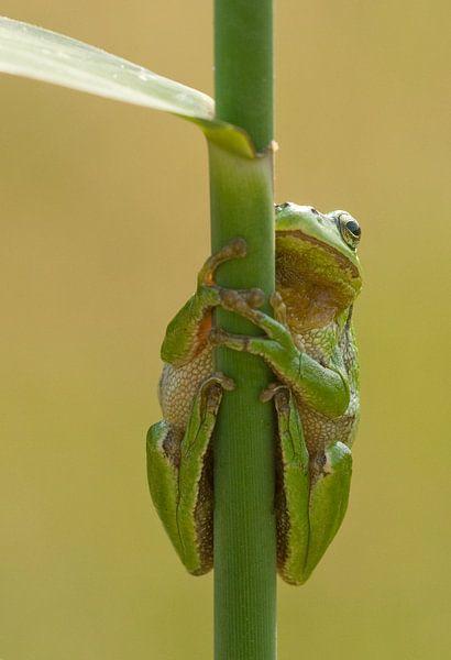 Baumfrosch am Schilfrohrstiel in grün von Jeroen Stel