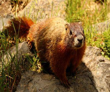 Nieuwsgierige marmot van Christiane Schulze