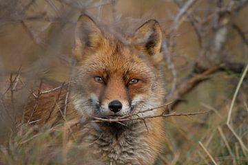 Portret vos van Wesley Klijnstra