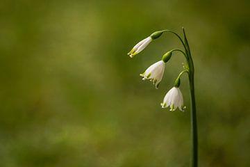 Sommerglocke (Leucojum aestivum) von Carola Schellekens