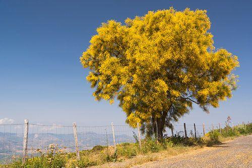Bloeiende gele brem tegen blauwe lucht. van