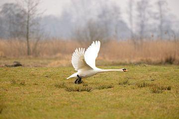 opstijgende zwaan van Petra De Jonge