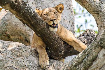 Leeuwin / Afrikaans landschap / Natuurfotografie / Oeganda van Jikke Patist