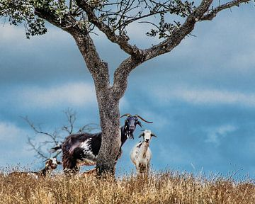 3 geiten sur Harrie Muis