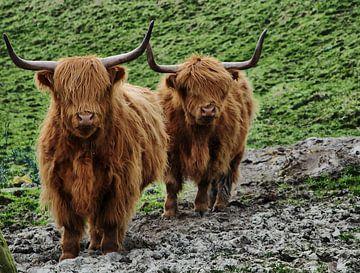 Schottischer Hochlandbewohner von Tineke Visscher