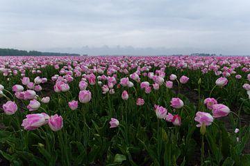 Roze tulpen van Dick Carlier