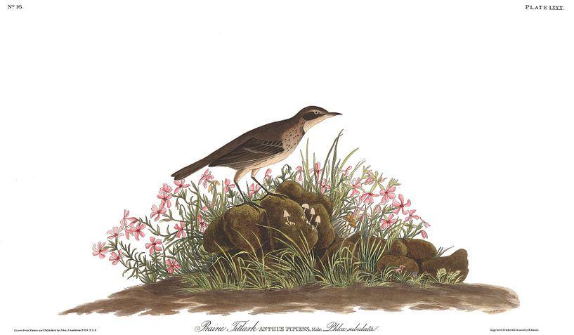Pacifische Waterpieper van Birds of America