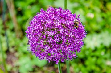 Zierlauch mit Biene von Frans Blok