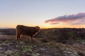 Veau écossais Highlander au sommet d'une dune au lever du soleil