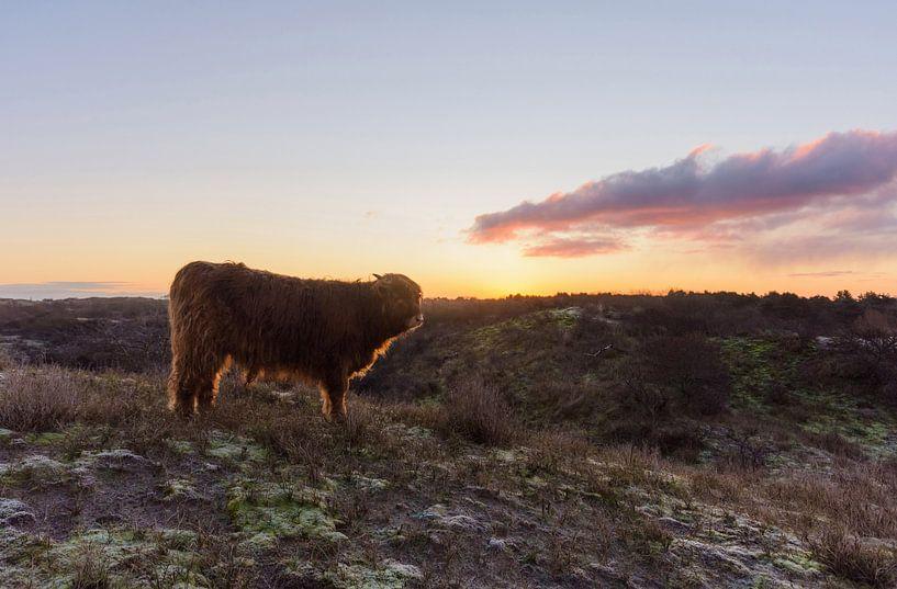 Veau écossais Highlander au sommet d'une dune au lever du soleil sur Remco Van Daalen