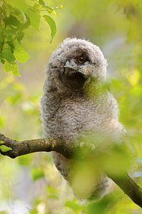 Waldohreule ( Asio otus ), Jungvogel verdreht den Kopf, lustiges Bild, wildlife, Europa.