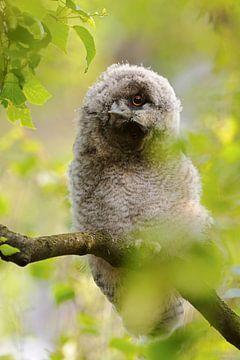 Ransuil (Asio otus), jonge vogel verdraait zijn kop, grappig beeld, wild, Europa. van wunderbare Erde