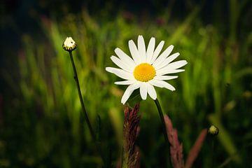 echte Sommerblume das wilde Gänseblümchen von eric van der eijk