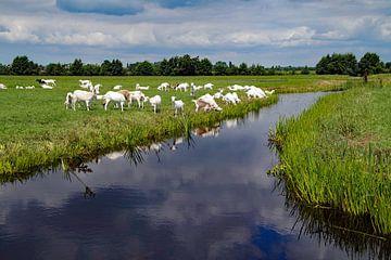 geiten in de wei en langs het water van wil spijker