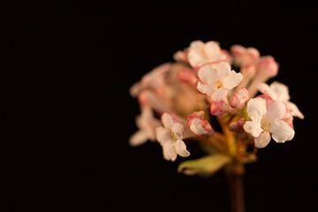 Sneeuwbal (Viburnum bodnantense) von Michel Vedder Photography