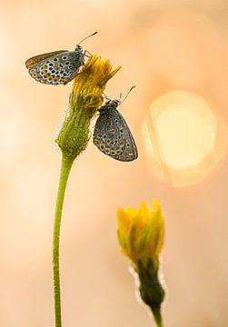 Schmetterlinge auf Löwenzahn gegen aufgehende Sonne von Thijs van den Burg