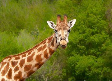 nieuwsgierige giraffe sur