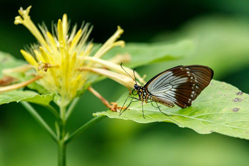 Schmetterling auf gelber Blume von Anjo ten Kate